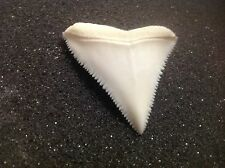"""1.57"""" GREAT WHITE SHARK TOOTH real modern OLD COLLECTION Carcharodon carcharias"""