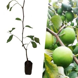 Details about 60cm Grafted Plant Thai Jujube tree Large fruit size