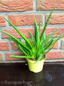echte-Aloe-vera-034-Barbadensis-miller-034-Sweet-Heilpflanzen-1stk-034-essbar-034