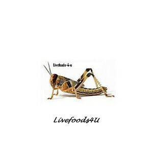 LOCUST-EXTRA-LARGE-60-BULK-IN-TUBS-PACKED-FRESH-BEST-PRICED-LIVEFOOD-REPTILES