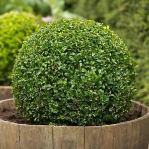 25-Semillas-de-Buxus-Sempervirens-Boj