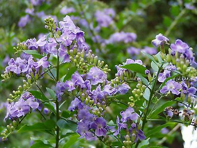 Duranta erecta Periwinkle Blue  shrub 100 seeds