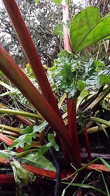 Rheum - GB-S01186 - D2M- GB 3 Champagne Rhubarb plug plants