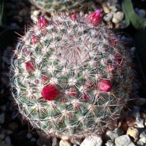 Mammillaria-rodantha-maccantenii-Cactus-Cacti-Succulent-Real-Live-Plant
