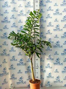 wodyetia bifurcata 140-150 cm, pot 24 cm