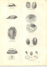 1854 Engravings Reticulated Pleurobranchus Mediterranean Umbrella Ancylus