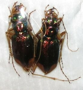 EE08-CICINDELIDAE-PAIR-Tetracha-sp01-FROM-PERU-insectos-insect-insecte-insetto