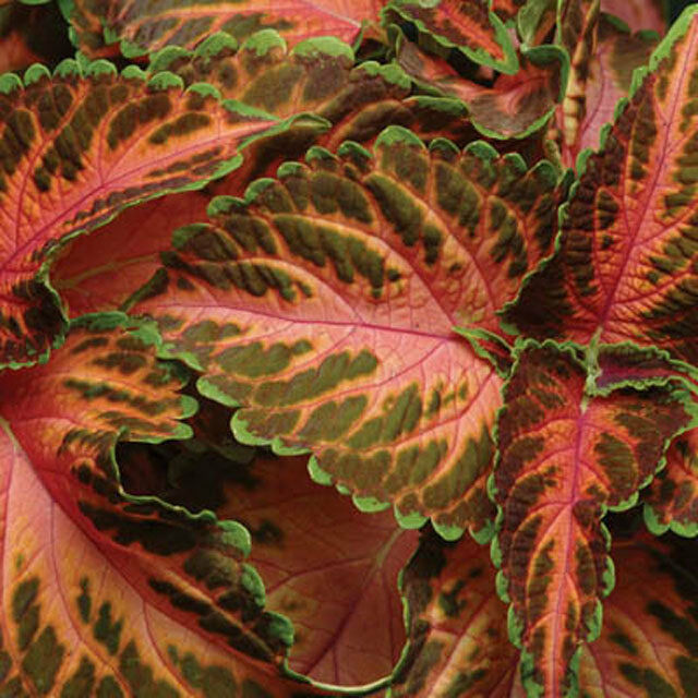 COLEUS WIZARD CORAL SUNRISE SHADE LOVING FLOWER SEEDS  LONG LASTING ANNUAL 50