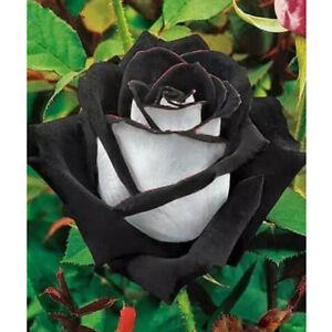 300 Seed Rarest White Blood Rose Plant Flower Seeds Flower Garden Asaka Rare