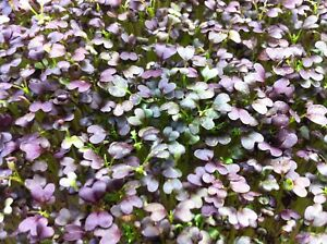 1 OUNCE UNTREATED CRIMSON TIDE MUSTARD SEED - BEAUTIFUL MICRO & AWESOME FLAVOR!