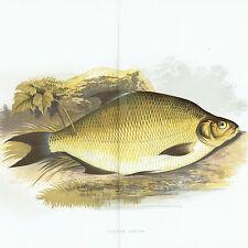 Pesci - Abramide Comune o Breme - Common Bream - Specie Ittica  - Pesca