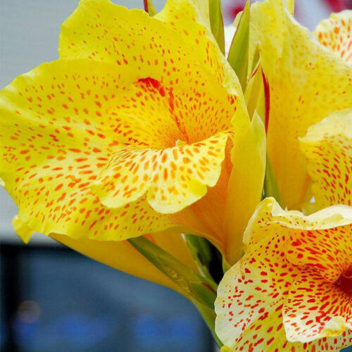 Canna Lily Bulbs Flowers Yellow Bright Stunning Perennial Tropical Meaty Plants