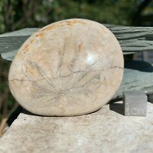 Echinoid-Dendraster-giblesi-Fossil-Florida-FSE048-100-genuine-UKseller