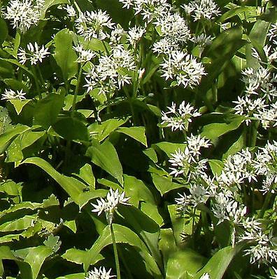 Bärlauch Waldknoblauch - Allium ursinum - mehrjährig - 1g Samen