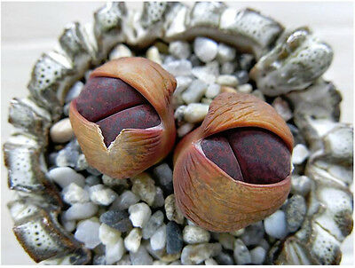Lithops lesliei Fred`s Redhead, living stone rock stone cactus  seed 30 SEEDS