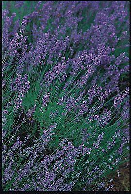 Herb - Lavender - Vera - 50 Seeds - Economy