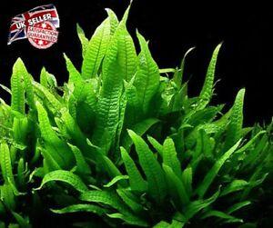 Fougère de Java en direct de plantes d'aquarium microsorum Narrow Leaf Guppy crevette très facile UK