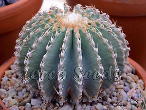GE01 Geohintonia mexicana graines fraîches haute germination le meilleur Cactus! 25 graines