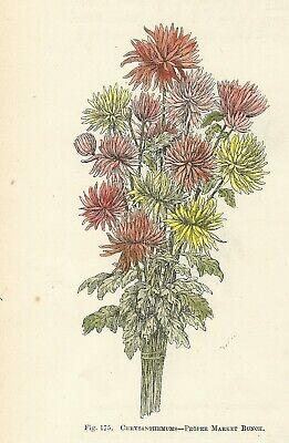 Mazzo Di Fiori Un Inglese.Crisantemi Mazzo Stampa Antica Del 1896 Con Fiori Incisione