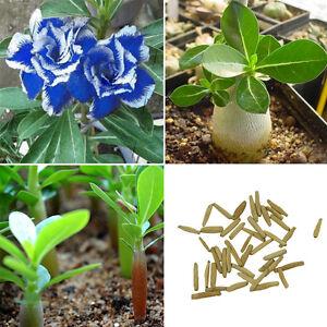 Adenium rosa del desierto mezcla de semillas de jard n de for Jardin del desierto