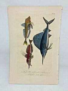 Original-Antique-Hand-Colored-Fish-Print-Lacepede1840-Beautiful-Plate-66-Cuvier