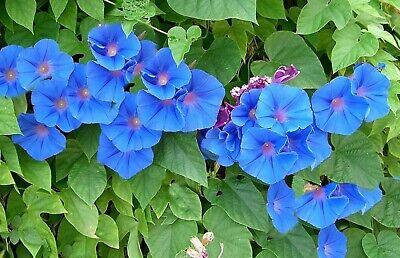 35 Graines de fleurs Ipomée Méthode BIO seed plante fleur grimpante potager