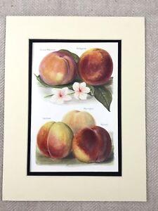 1892 Botanico Stampa Giardino Frutta Pesca Peaches Vittoriano Originale Antico