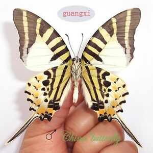 COLLECTION unmounted butterfly Papilionidae Papilio paris paris spring form A1