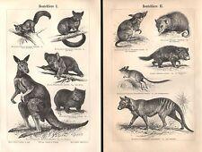 Beuteltiere I+ II Wombat Beutelwolf Teufel Opossum Känguruh Koala Holzstich 1893