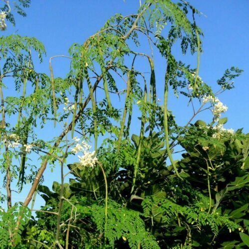 "/""Keyaki/"" der Japaner japanische Zelkowe Pflanze im Topf Zelkova serrata"