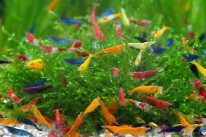 Neocaridina davidi diversi colori compra online cherry shrimp