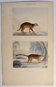Bergnasenbaer-Coati-brun-antik-Kolor-Steindruck-Litho-um-1800-Buffon