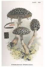W Hamilton Gibson Agaricus Gambosus Harper Publishers 1895 Ebay