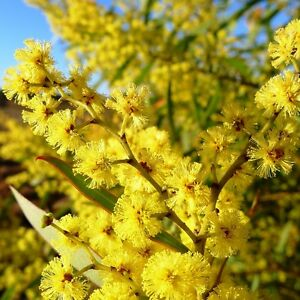 Details about ACACIA rubida Red-stemmed Wattle Seed (A 45)