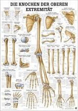 NEU Lehrtafel: Die Knochen der oberen Extremität - laminiert