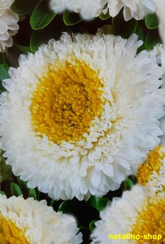 Astern *LUXUS* 50 Samen *Weiße Pompon-Astern *Asternsame *Aster seeds
