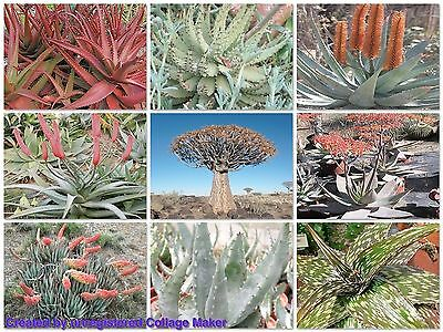 ALOE MIXED SEED PACKET (Aloe mixed species) 30 seeds