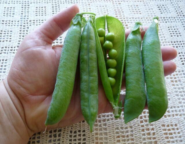 Pea TELEPHONE (Podding Pea) 30 Seeds (HEIRLOOM) Vegetable