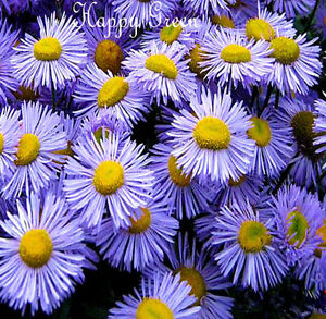 ERIGERON-Showy-Fleabane-Daisy-Mix-500-SEEDS-PERENNIAL-FLOWER
