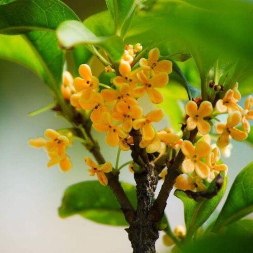 10 Pcs Osmanthus Fragrans Bonsai Seeds Perennial Flower Plant Tree Garden S114