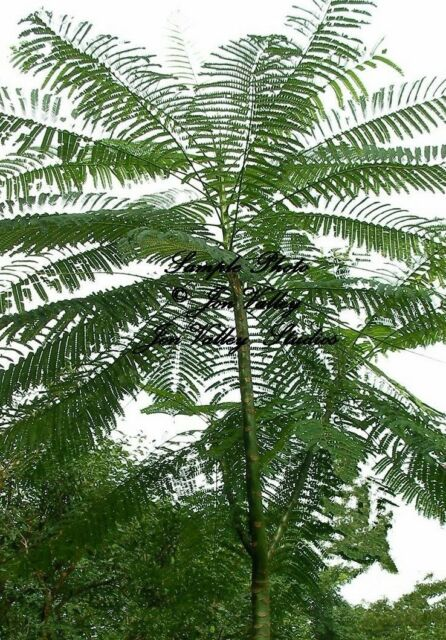 Schizolobium parahybum 3 seeds Brazilian Fern Tree Rare Container Gardening