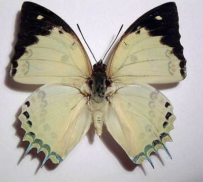 ONE REAL BUTTERFLY BLUE GREEN POLYURA NARCAEA UNMOUNTED WINGS CLOSED CHINA