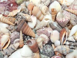 Muschelmix-large-1kg-1A-Sortierung-Schnecken-Suedsee-Karibik-Aquarium-Beach-Deko