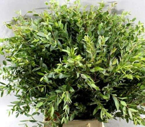 100Pcs Eucalyptus Tree Seeds Rare 40 Kinds Shrub Potted and Garden Plants Bonsai