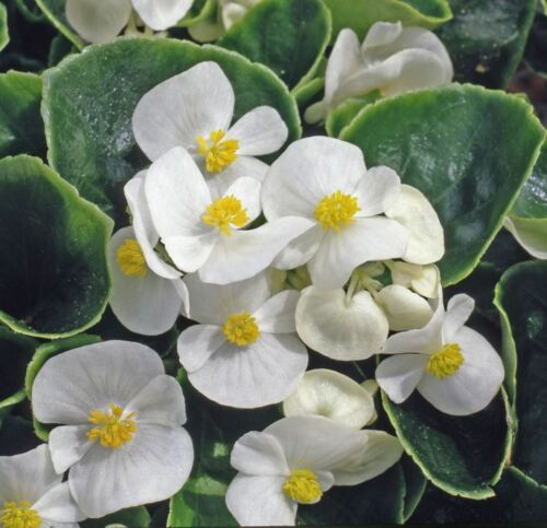 Fiore-Begonia semperflorens-HEAVEN BIANCO F1-500 semi pellettati-BULK