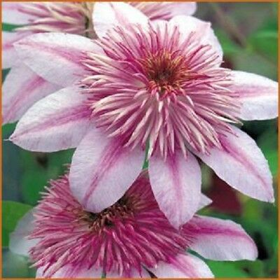 25 Pink White Clematis Seeds Large Bloom Climbing Perennial Garden