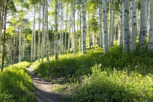 VLIES Fototapete-BIRKENWALD- 43V -Natur Pflanzen Bäume Park Garten Wandtapete