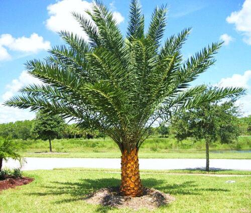 Phoenix sylvestris silver Date Palm exotic rare palms semi plant seed 50 seeds