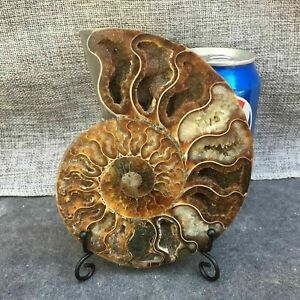 Natural-Crystal-ammonite-fossil-conch-specimen-healing-stand-1pc-random