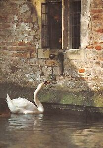 BF40022-pulling-rope-to-ring-the-bell-for-its-food-cigne-swan-bird-oiseau